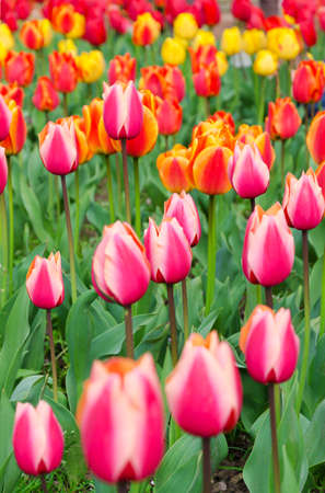 Multi-colored tulips on the bed. Festival of tulips. photo