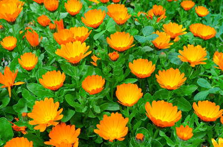 Marigold flowers grow in a flowerbed photo