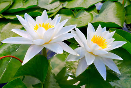 lirio acuatico: Dos lirios blancos entre las hojas en el lago Foto de archivo