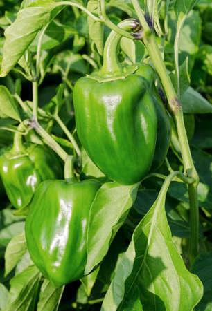 bush pepper: Green Bulgarian pepper grows on a bush among green leaves