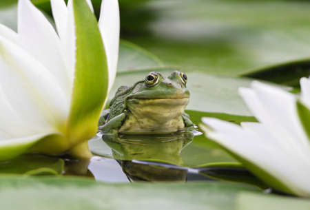 Frog sits on a green leaf among white lilies in a pond photo