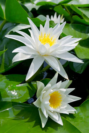 lirio acuatico: Lirios blancos entre las hojas verdes en el lago