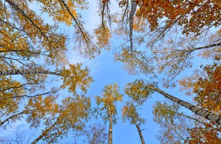 Crones of trees of autumn wood photo