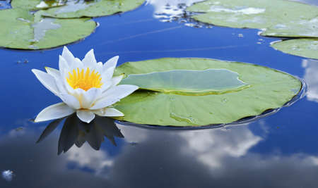 White lily in water blue lake