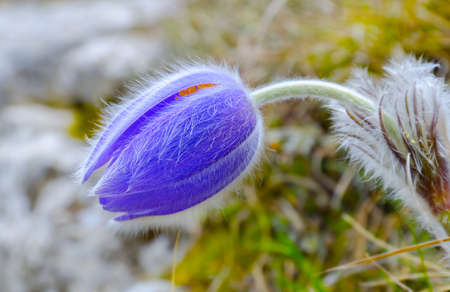 Spring flower growing against snow and a green grass photo
