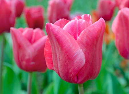 Red tulip on the blurred background. Tulip Festival. photo