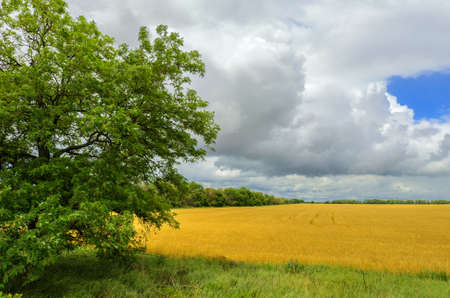 Wheat field and forest against cloudy sky photo