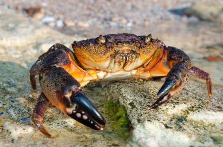 cangrejo: Cangrejo de piedra grande va al agua sobre las rocas de la costa
