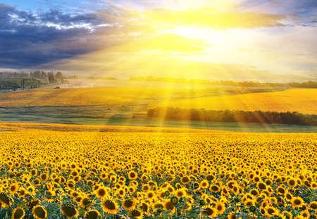 曇り空を背景ひまわり畑に沈む夕日 写真素材
