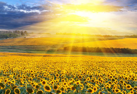 girasol: Puesta de sol sobre el campo de girasoles contra un cielo nublado
