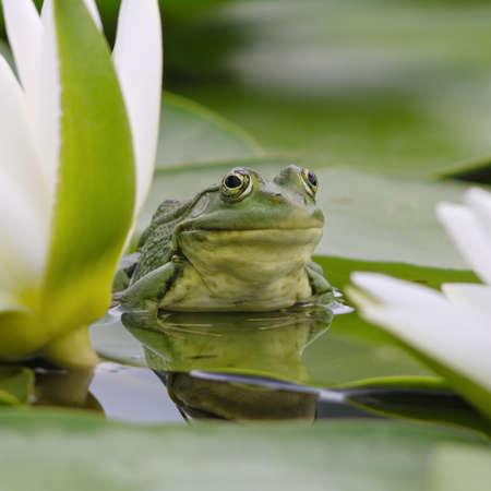 grenouille: Marsh grenouille se trouve sur une feuille verte parmi les lys blancs sur le lac Banque d'images