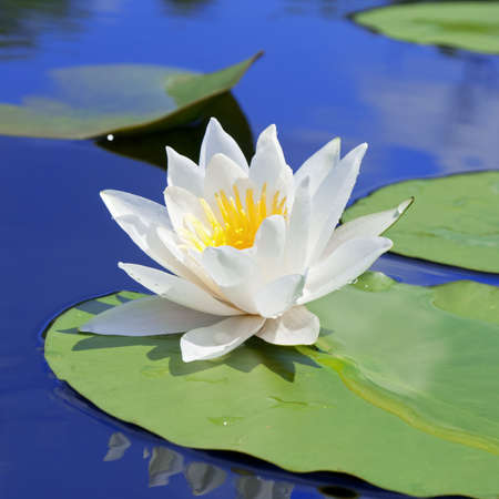 White lily with green leaves on the lake