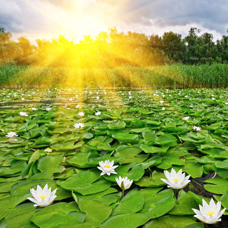 Sunrise over a spring lake with a white lilies