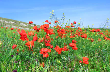 sways: Red poppies on the green field sways in the wind against a blue sky
