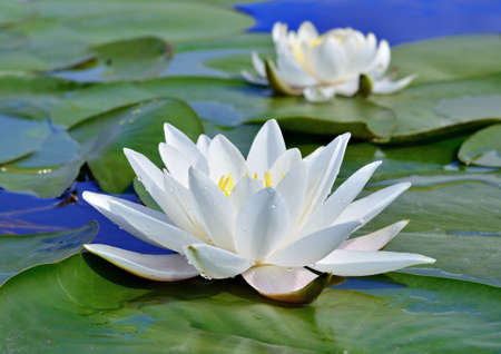 White lily on the lake among the green leaves against a blue water photo