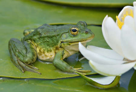 water frog: Marsh frog sits on a green leaf among white lilies on the lake Stock Photo