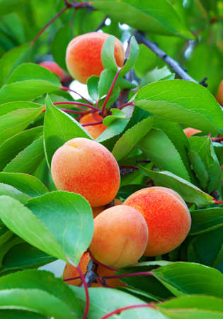 Ripe apricots grows on a branch among green leaves photo
