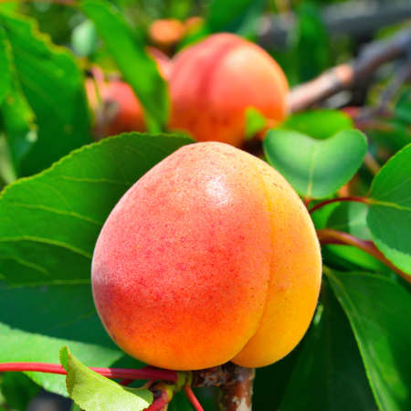 Ripe apricot grows on a branch among green leaves photo