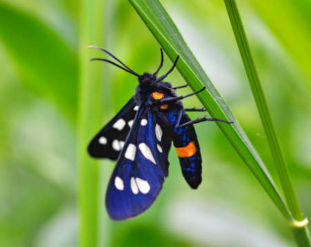 sways: Butterfly sits on a stalk of grass on the blurred green background