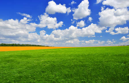 Summer day on the green wheat field against a blue sky.  Summer landscape. photo