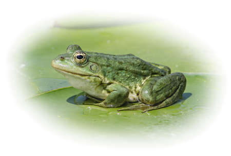 Marsh frog sits on a green leaf, isolated on a white background. photo