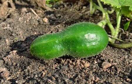 Cucumber growing on stony soil.