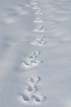 Traces of a hare on the white snow photo