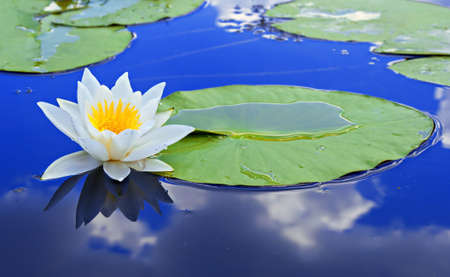 White lily on the lake with a green leaves against a blue water 스톡 콘텐츠