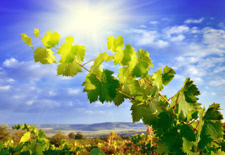Grape branch against the sun on a dark blue sky in mountains photo
