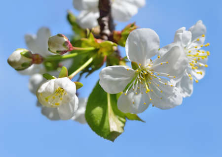 White flowers and buds on a blossoming tree against a blue sky photo