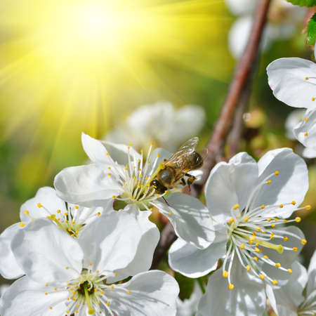 Bee on blossoming, white flowers against green foliage and spring sun photo