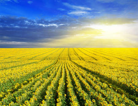 Sunset over the sunflower field. Summer landscape. Standard-Bild