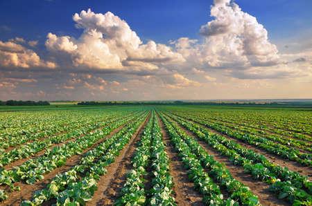 Repollo: Salida del sol sobre el campo de coles