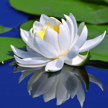 White lily against a blue water and green leaves
