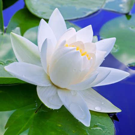 waterlily: White lily against the blue water and green leaves