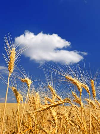 Ears of wheat against a dark blue sky photo