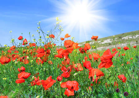 sways: Red poppies on the green field against a blue sky Stock Photo