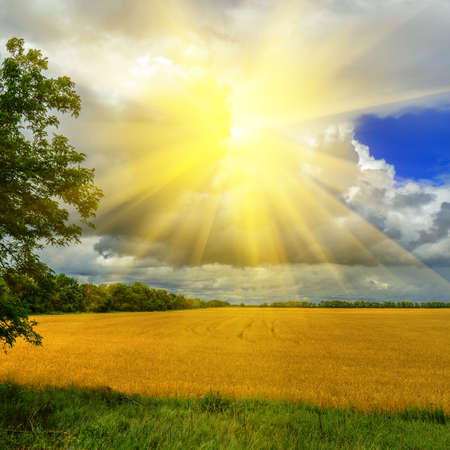 Wheat field against a dramatic cloudy sky with a sun  photo