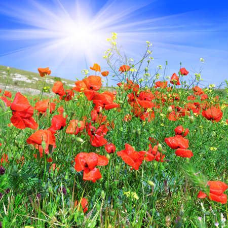 sways: Red poppies on the green meadow against a blue sky