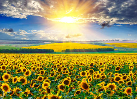 Sunflower field against the dramatic sky and a rising sun Stock Photo