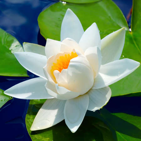 White lily in a pond against green leaves in a sunny day