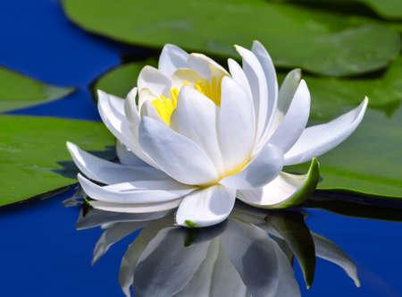 white lily: Lirio blanco en el lago entre las hojas verdes