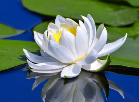 waterlilly: White lily on the lake among green leaves