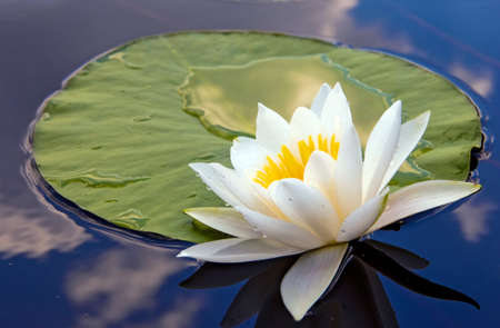 green flower: White lily in water on the lake Stock Photo