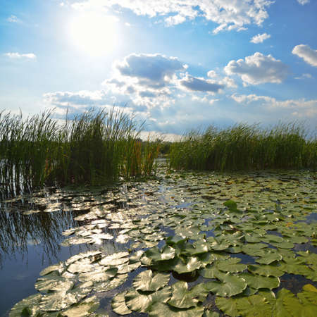 lily pads: Beautiful pond with reeds and green lily pads at the morning