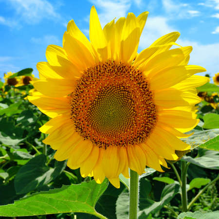 sunligh: Sunflower in the field against the blue sky in sunny day