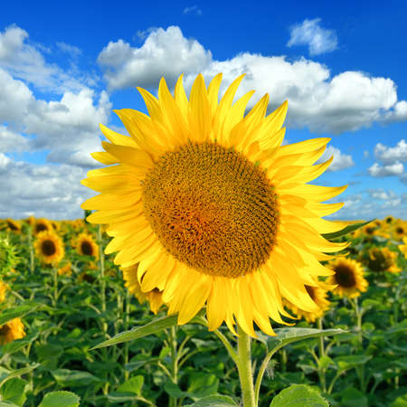 sunligh: Beautiful Sunflower on the field against a blue sky in a summer sunny day