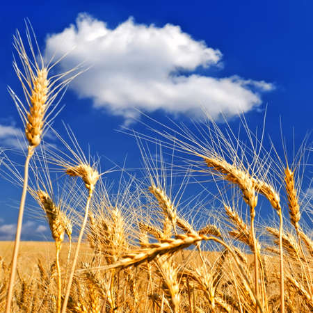 sways: Wheat ears against the dark blue sky in hot summer day Stock Photo