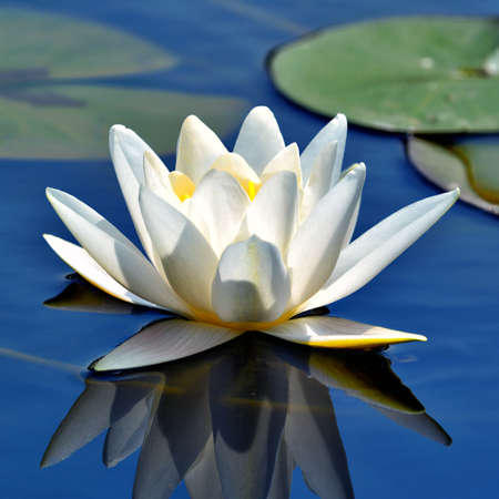waterlilly: Beautiful waterlily against blue lake water Stock Photo