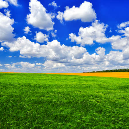 sways: The picturesque field of young wheat against the cloudy blue sky in a summer sunny day.  Summer landscape.